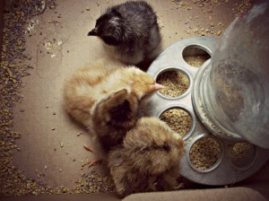 chicks2